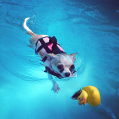 Schattige kleine hond en rubber duck in zwembad — Stockfoto