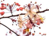 Pink cassia flowers — Stock Photo