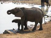 Elephants Etosha National park — Stock Photo