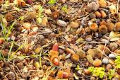 A carpet of fallen leaves, twigs and acorns — Stock Photo