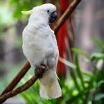 White Parrot — Stock Photo #69362973