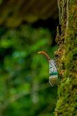 Lantern-fly — Stock Photo