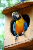 Blue-and-yellow macaw in the birdhouse — Stock Photo