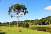 Araucaria Angustifolia (Brazilian pine) in Curitiba - Brazil — Stock Photo