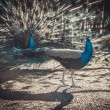Two peacocks at the zoo show off to each other — Stock Photo #67807469