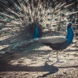 Two peacocks at the zoo show off to each other — Stock Photo #67807483