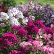 Multicolored phlox different varieties — Stock Photo #67920669