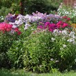 Multicolored flowerbed flowering phlox in the garden — Stock Photo #67920681