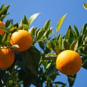 Three oranges on a tree branch — Stock Photo