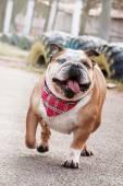 Dog breed English bulldog walking on natural spring background — Foto de Stock