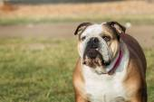 Dog breed English bulldog walking on natural spring background — 图库照片