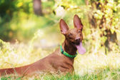 Pharaoh Hound in summer forest — Stock Photo