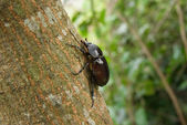 Female siamese rhinoceros beetle on a tree — Stock Photo