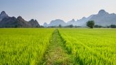 Path leads into rice paddy — Stock Photo