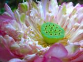Lotus flower close-up — Stock Photo
