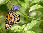 Monarch butterfly on purple flowers — Stock Photo