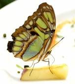 Malachite butterfly Siproeta stelens eating apple in a butterfly house — Stock Photo