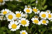 Chamomile or camomile flowers — Stock Photo