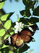 Butterfly on plum blossoms flowers — Stock Photo