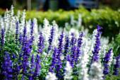 Tarlada Ada çayı çiçekler — Stok fotoğraf