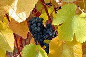 Grapes growing in vineyard — Stock Photo