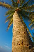 Palm tree in the caribbean — Stock Photo