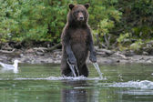 Fishing bear — Stock Photo