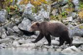 Bear walking on rocks — Stock Photo