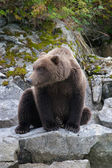 Portrait of a sitting bear — Stock Photo