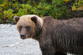 Profile of a grizzly bear — Stock Photo