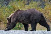 Grizzly bear pesca in un lago d'Alasca — Foto Stock