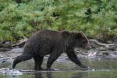 Grizzly bear fishing in an alaskan lake — Stock Photo