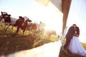 Bride and groom kissing near cow farm — Stock Photo