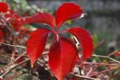 Röda blad — Stockfoto
