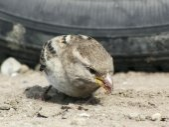 Close-up portrait of sparrow — Stock Photo