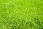 Green grass growing from a spring lawn. — Stock Photo