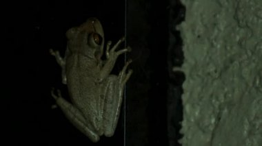Tree frog at night inside of porch, CLOSE — Stock Video