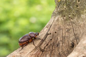 The female rhinoceros beetle crawling up the tree — Stock Photo