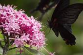Black swallowtail butterfly sucking nectar from flowers — Stock Photo