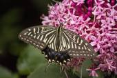 Swallowtail butterfly sucking nectar from flower — Stock Photo