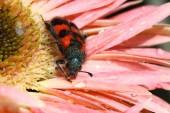 Bee beetle — Stock Photo