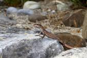 Common wall lizard. — Stock Photo
