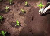 Seedlings in the garden — Stock Photo