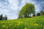 Field with dandelions and blue sky — Stockfoto