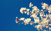 Cherry flowers on blue background — Stock Photo