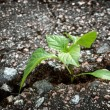 Plant growing from crack in asphalt — Stock Photo #72062215