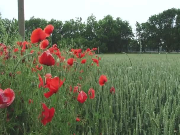 Amapolas rojas — Vídeo de stock