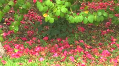 The wind shakes the leaves of camellia blooming flowers that fall to the ground and lay down carpet — Stock Video