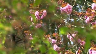 Japanese cherry flowering shrubs in the arboretum — Stock Video