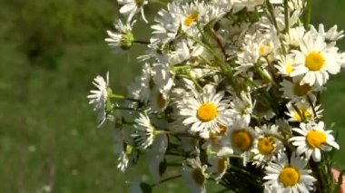 Wildflowers daisies — Stock Video